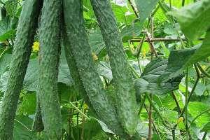 青瓜的功效与作用 吃青瓜的好处